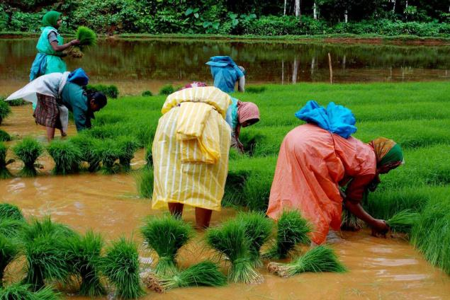 Women readying paddy seedlings at a nursery in Napoklu in Kodagu for transplantation./ The Hindu