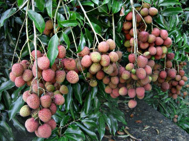 Litchi grown in Kodagu during the off-season can be marketed across the country, says an expert.