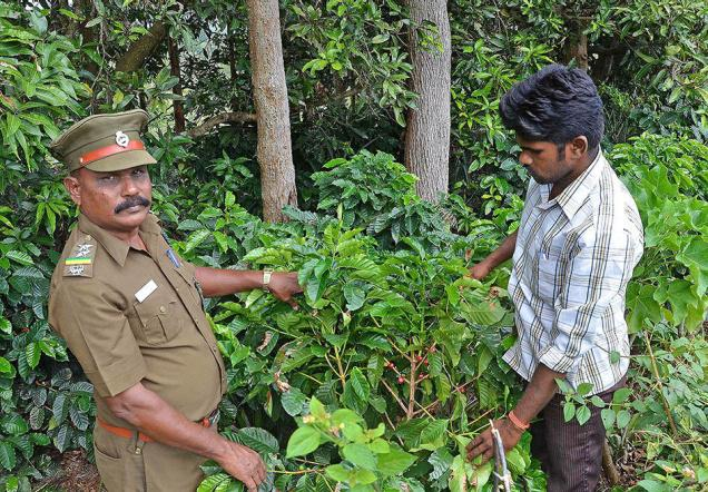A forest official in Pachamalai at a patch of land where a coffee plantation is being raised.— PHOTO: B. VELANKANNI RAJ