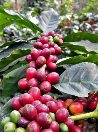 Grown in two-tier shade, the Nullore Estate coffee is a microlot / Photo: Special arrangement