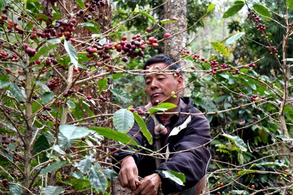 Phanbem Kithan, a coffee farmer from Wokha village, collects ripe coffee beans at his farm.