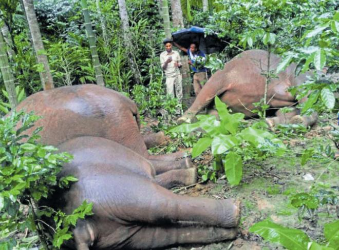 Four elephants were electricuted in an estate in Kodagu.