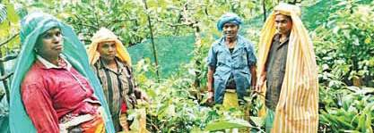 Workers in Wayanad grove  Pics courtesy: Meera Rajesh