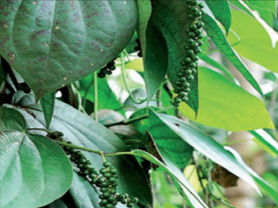 For the second year running, Karnataka has been named the country's largest pepper producer, accounting for 45% of the spice produced in India