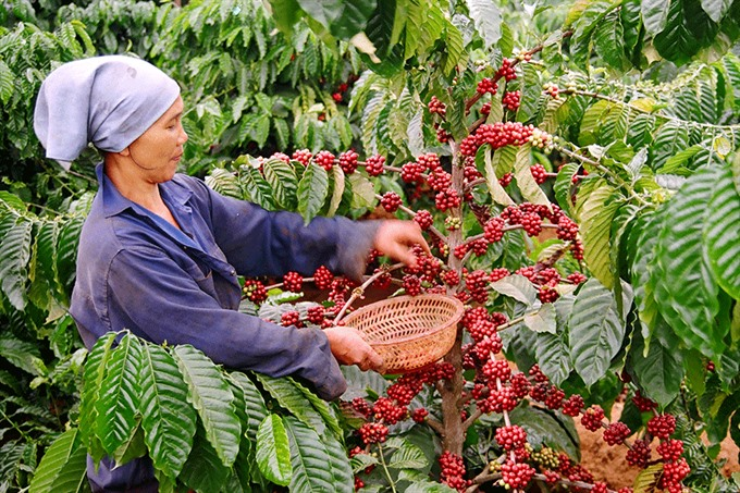 The coffee industry needed a big capital and comprehensive solutions to increase output and product quality. — Photo lehoicaphe.com