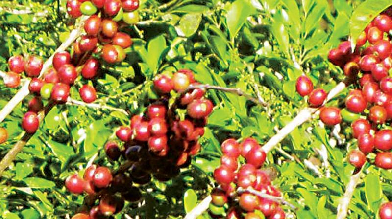 The last chunk of rainforest coffee on this planet is in India and grows along the Western Ghats covering Karnataka, Kerala and Tamil Nadu. (Photo: DC)