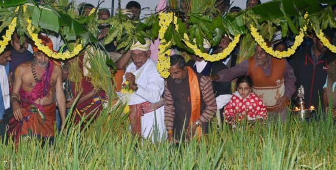 Reaping the paddy sheaths as a part of Huttari ritual.